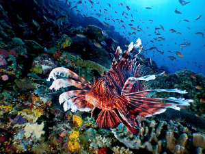 Lionfish in Komodo. Canon S90 by Stephen Holinski 